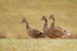 Canards colvert (Mallard)