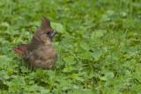 Cardinal rouge, juvenile  (Northern cardinal)
