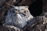 Petit-duc maculé (Eastern screech-owl)