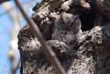 Petit-duc maculé (Eastern screech owl)