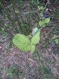 Ortie (Stinging nettle) ?