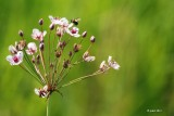Jonc fleuri ou Butome à ombelle (Flowering rush or grass rush)