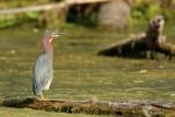 Héron vert (Green heron)
