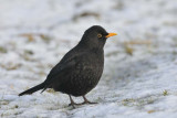 Blackbird RSPB Conwy