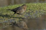 Blackbird female RSPB Conwy
