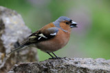 Chaffinch    Wales