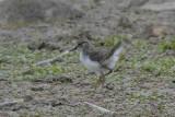 Common Sandpiper chick Conwy RSPB