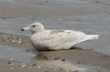 Glaucous Gull   Wales