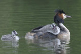 Great Crested Grebe  Shropshire