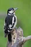 Great Spotted Woodpecker      Wales