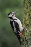 Great Spotted Woodpecker      England