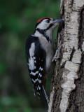 GS Woodpecker Borrowdale Cumbria