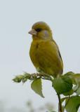 Greenfinch Conwy RSPB