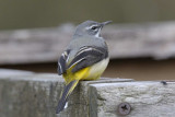 Grey Wagtail   North Wales
