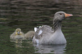 Greylag  Goose Derwentwater Cumbria