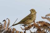 Meadow Pipit Bosherton Pembrokeshire