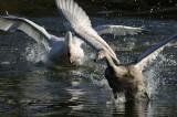 Mute Swan Bosherton Pembrokeshire