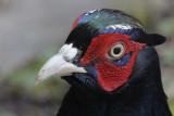 Pheasant Llandudno