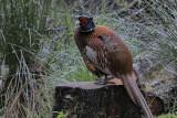 Pheasant Low Mansty Cumbria