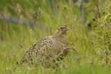 Pheasant  Nr Holy Island Northumbria