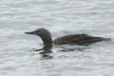 Red-throated Diver    Wales