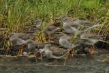 Redshank  Rhos Point Conwy