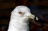 Ring-billed Gull     Wales