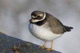 Ringed Plover  Rhos Point Conwy