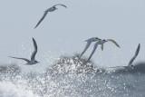 Sandwich Tern  Angle Bay Pembrokeshire