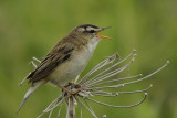 Sedge Warbler Nr Holy Island Northumbria