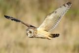 Short Eared Owl   Conwy
