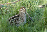 Common Snipe      Wales