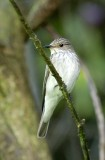 Spotted Flycatcher Pensychnant   Conwy