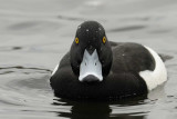 Tufted Duck Conwy RSPB