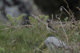 Whinchat   Conwy Valley