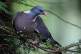 Wood Pigeon  Borrowdale Cumbria