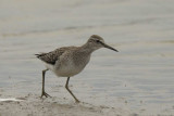 Wood Sandpiper  Conwy RSPB