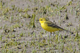 Yellow Wagtail Conwy RSPB,Wales