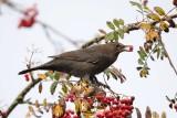 Blackbird Conwy Valley