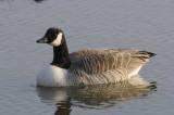 Canada Goose Conwy RSPB