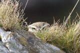 Little Owl  Little Orme Llandudno