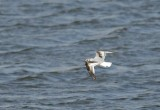 Little Gull  Snettisham Norfolk