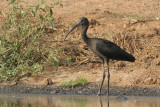 Glossy Ibis  Gambia