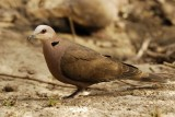 Red-eyed Dove   Gambia