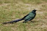 Long-tailed Glossy Starling   Gambia