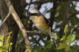 Bay-backed Shrike   Goa