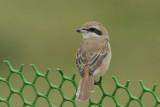 Brown Shrike Goa