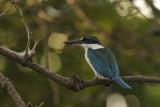 Collared Kingfisher  Goa