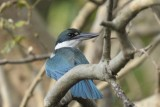 Collared Kingfisher  Goa