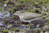 Common Sandpiper  Goa